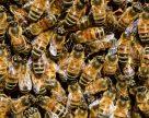 На Полтавщині створили племінну пасіку степових бджіл