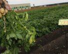 Урал обеспечат отечественным семенным материалом картофеля к 2021 г.