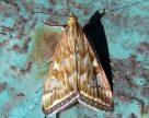 Шкодочинність третього покоління лучного метелика може бути надпороговою