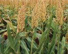 Урожайность украинского сорго в этом году достигнет 12-14 т/га