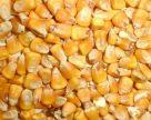 Останется ли кукуруза в полях из-за низких цен?