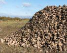 Середня врожайність цукрових буряків в «A'SPIK GROUP» становить 550 ц/га