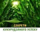 Секрети кукурудзяного успіху