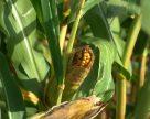 Кукурудза – «українська деревина»