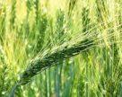 Визначення посівних якостей насіння
