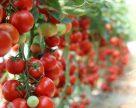 Для боротьби з томатною міллю в Іспанії зареєстрували органічний інсектицид