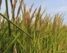 Corteva Agriscience оголошує про реєстрацію в Україні нового гербіциду Дівікстон™ для виробників рису