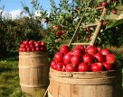В Украине запустили новую линию сортировки яблок производительностью 12 тонн в час