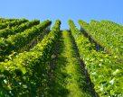 Украинские виноделы сокращают число химических обработок на виноградниках
