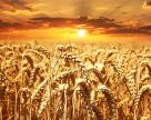 Генетический потенциал урожайности полевых культур раскрыт только частично