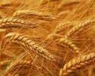 Наступного року валовий збір пшениці буде менший