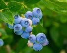 Практичний досвід вирощування лохини