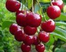 Українські садівники наполягають на виділенні експортної субсидії