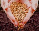 В Дагестане доля качественного посевного материала увеличилась на 2-6%