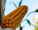 Встановлено новий рекорд врожайності кукурудзи на зрошенні