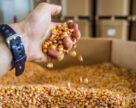 Вирощування кукурудзи на насіння у 10 разів прибутковіше товарних посівів