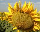 DEKALB пополнится линейкой гибридов высокоурожайного подсолнечника