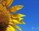 Розвиток сегмента ринку високоолеїнового соняшнику
