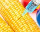 В США 92% отведенных под кукурузу площадей засеяно ГМО-семенами