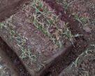 Відбір монолітів озимих свідчить про високу життєздатність рослин у полях
