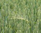Исследователи открыли новый ген пшеницы