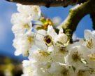 Завдяки запиленню бджолами урожайність сільськогосподарських культур зростає на 20–75 %