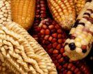 Доля Украины в турецком импорте кукурузы составила 50%