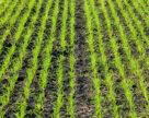 Озимі зернові проти бур
