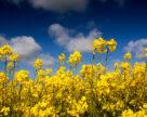 Чи можуть бути безпечними до бджіл інсектициди?