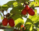 В Запорожской области будут производить цукаты из органического кизила