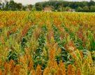 В холдинге KSG Agro высеяли сорго на более чем полтысячи гектар