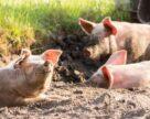 KSG Agro построит откормочный цех и маточник свинокомплекса в этом году