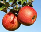 В Україні очікується високий врожай промислових яблук