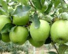 За минулий сезон Україна експортувала 83,9 тис тонн яблучного концентрату