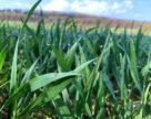 Із опадами стрімко розвиваються хвороби колосових зернових