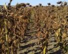 Вал подсолнечника в южных областях Украины будет раза в три нижче прошлогоднего