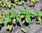 Большинство сельхозкультур в Украине плучили стресс через контрастный температурный режим