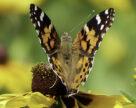 Метелик, що здатний долати за добу 500 км та зимувати в Африці