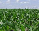 Важливість забезпеченості кукурудзи цинком в сезоні 2020 року