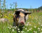 Прогноз закупівельних цін на свиней на 24-й тиждень2020року