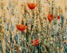 В Украине ожидается очередной рекордный урожай пшеницы