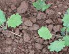 Захищаємо ріпак озимий від бур'янів на ранніх етапах вегетації