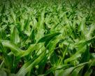 Шкідниками вражено до 5% кукурудзи в зонах Степу та Лісостепу: UKRAVIT пропонує дієве рішення