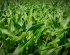 Китай приобрел рекордную партию кукурузы США