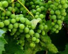 46% вина Бессарии производят в домашних хозяйствах