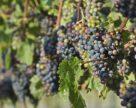 Виноделие Юга Украины не выживет без государственной поддержки