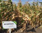 Науковці Інституту зернових культур НААН зареєстрували гібрид білозерної кукурудзи