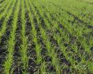 Особливості осіннього підживлення озимих зернових культур