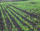 Рішення проти осінньої забур'яненості озимих зернових культур