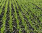 Осінній захист озимих зернових культур від хвороб
